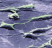 Лечение эмбриональными стволовыми клетками станет безопаснее